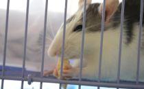 Чем отличается хомяк от крысы
