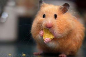 Хомяк кушает в кладовке