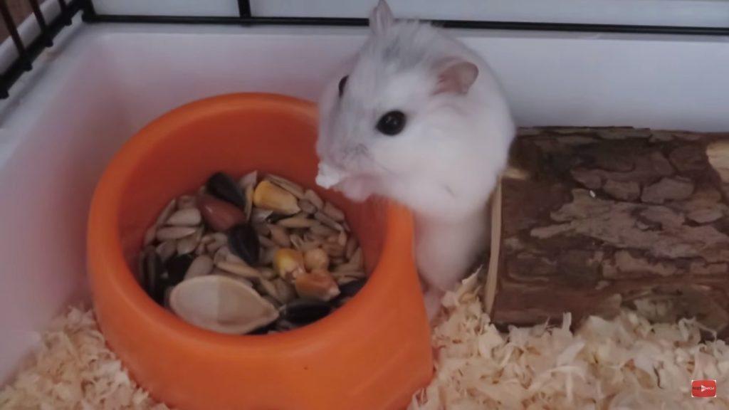 Хомяк ест с кормушки