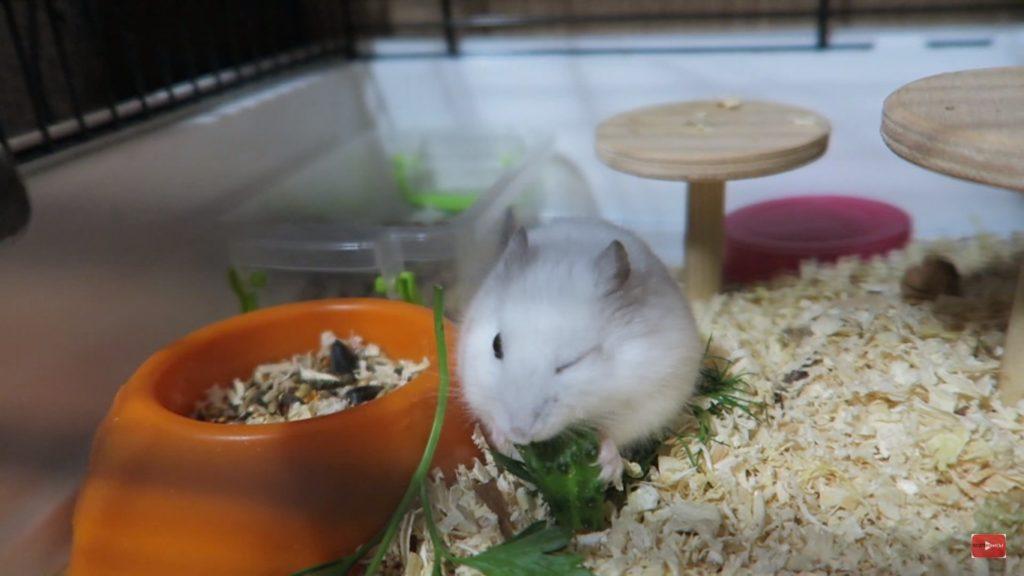 Питание хомяков в домашних условиях