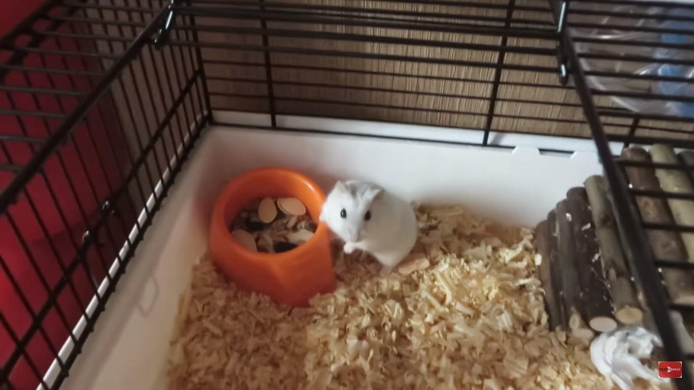 Чем кормить маленького хомяка в домашних условиях