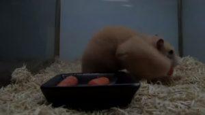 Хомячок и морковь.