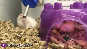Хомячок пьет воду