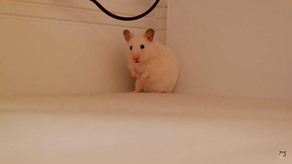 Хомяк сидит в углу во время прогулки по дому.