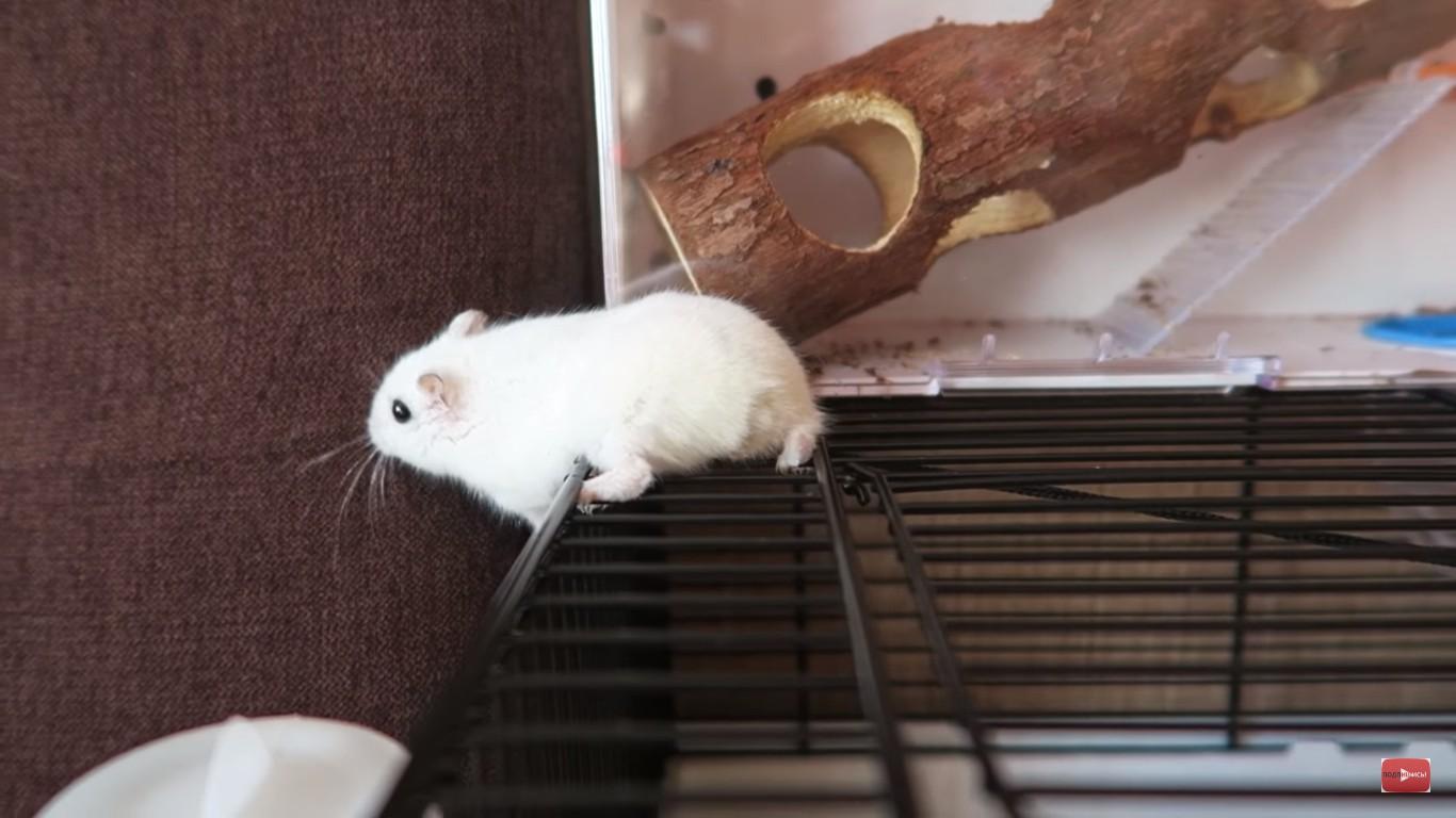 Побег хомячка