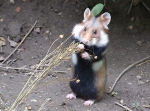 Полевой хомячок кушает зерна