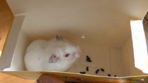 Хомяк альбинос: фото