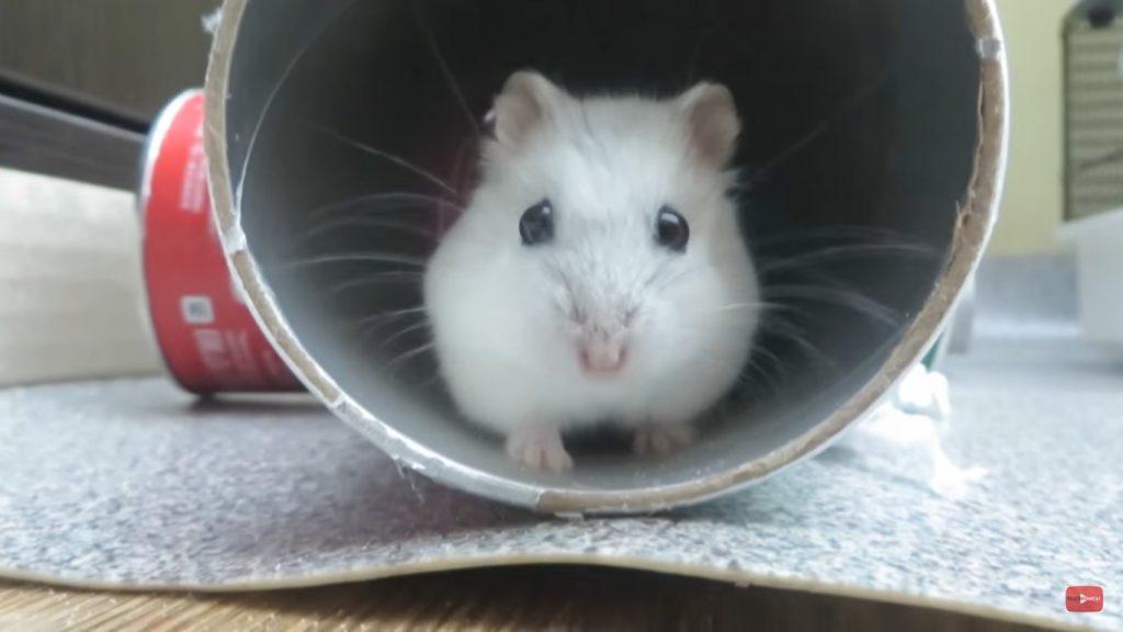 Картинка хомячка Джунгарика, он в доме хозяин.