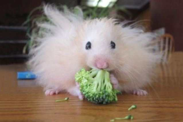 Ангорский хомяк кушает зелень