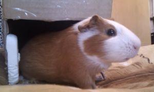 Хомяк или морская свинка