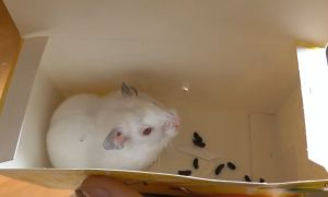 Хомяки альбиносы − что за порода?