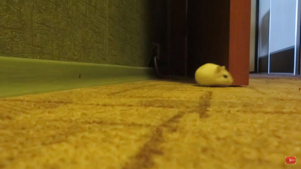 Хомяк гуляет по квартире, нужно переодически давать ему такую возможность.