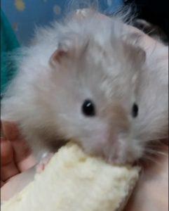 Хомячок ест банан