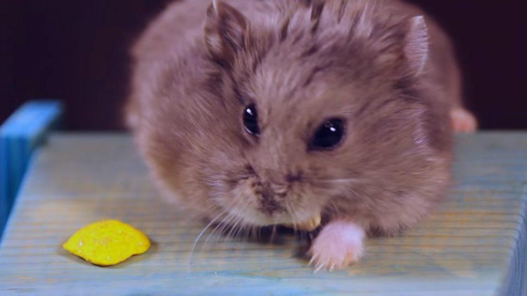 Хомячок смотрит в камеру возле картофеля