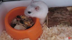Джунгарик кушает с кормушки.