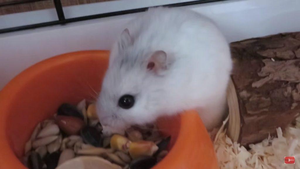 Хомячок кушает семечки в кормушке.