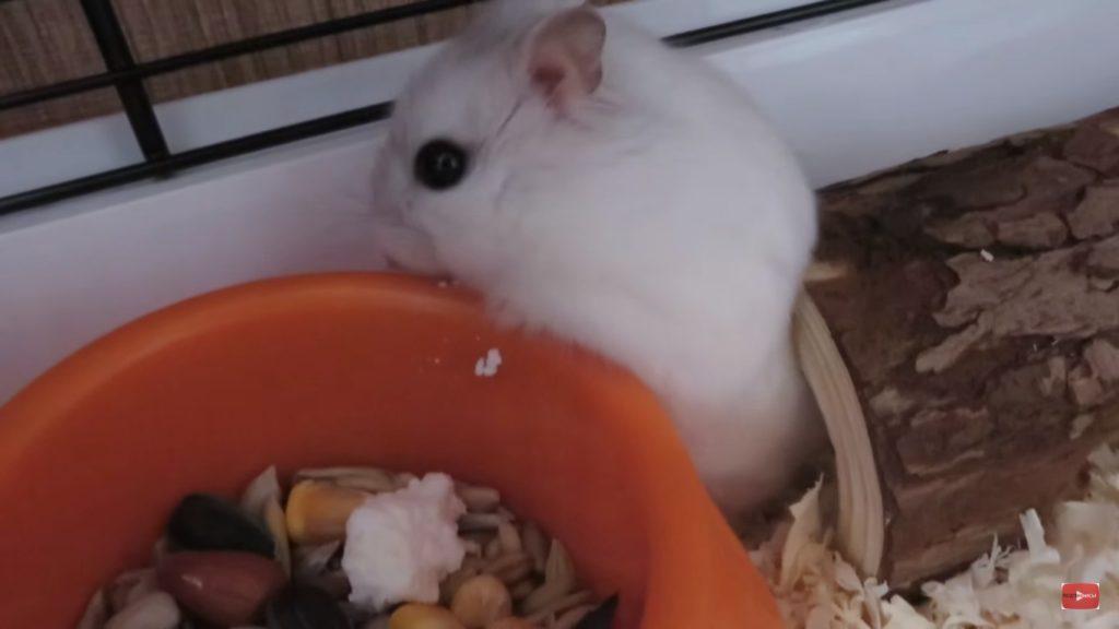Хомячок кушает