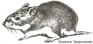 Рисунок хомячка Эверсманна.