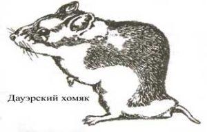 Рисунок даурского хомячка.