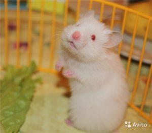 Белый хомячок: фото 4