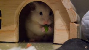 Хомячок кушает фрукты.