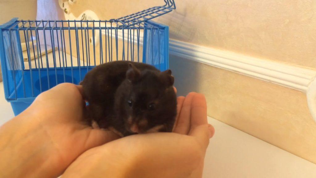 Еще одно фото сирийского черного хомячка