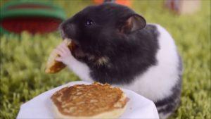 Хомяк кушает блины